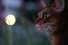 In the moonlight (DizzieMizzieLizzie - Off for a while) Tags: abyssinian aby beautiful wonderful lizzie dizziemizzielizzie portrait cat chats feline gato gatto katt katze katzen kot meow mirrorless pisica sony a6500 animal pet 2017