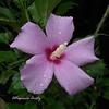 Hibisco/Hibiscus (Altagracia Aristy Sánchez) Tags: hibisco hibiscus cayena laromana quisqueya repúblicadominicana dominicanrepublic caribe caribbean caraïbe antillas antilles trópico tropic américa fujifilmfinepixhs10 fujifinepixhs10 fujihs10 altagraciaaristy
