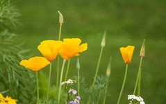 Wild things, I think I love you... (Robin Penrose) Tags: wild seeds loveliest gems yellow flower flowers 201707 yellowpoppies