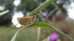 Small Skipper (Nick:Wood) Tags: butterfly smallskipper thymelicussylvestris insect nature wildlife outdoors grass knowle solihull