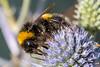 BuffTailedBumbleBee-0012.jpg (vorneo) Tags: bumblebee classinsecta kingdomanimalia bufftailedbumblebee orderhymenoptera wild familyapidae genusbombus phylumarthropoda insect speciesbterrestris subgenusbombus binomialnamebombusterrestris