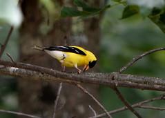 2017-07-15 Goldfinch (tsegat01) Tags: bird finch goldfinch yellow l colorfulworldyellow cmwdyellow