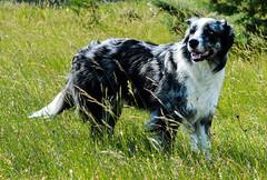 Cayenne (Georges Mathieu) Tags: ardèche cayenne chien vacances