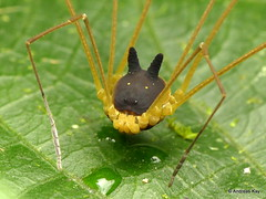 Bunny Harvestman, Metagryne bicolumnata, Opiliones (Ecuador Megadiverso) Tags: andreaskay arachnida bunny cranaidae ecuador harvestman opiliones spider metagrynebicolumnata cosmetidae discosomaticinae