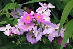 Wild Roses ( Rosa rugosa) (Lana Pahl / Country Star Photography) Tags: colorsofflickr ilovenature flickrnature ohionaturephotographers panasonicleicalens