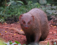 Indian Grey Mongoose (pani_mail) Tags: mongoose