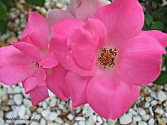 Sencillez floral 015 (adioslunitaadios) Tags: rosas plantasyflores macro rosarosa pétalos pétalosrosa airelibre jardín campo fujifilm
