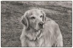Gentle friend (Karon Elliott Edleson) Tags: blackandwhite bw canine pet golden goldenretriever mansbestfriend friend loyal desertgoldens