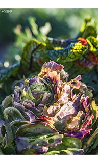 A Colourful Cabbage