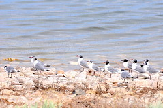 A line of Frankin Gulls (Great Salt Lake Images) Tags: summer morning causeway migratorybirds greatsaltlake utah