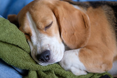 Beagle dog sleeping on a towel (androsoff) Tags: beagle dog pet animal mammal sleep rest sweet muzzle paws towel jeans bed nose black white brown thoroughbred