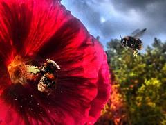 Summ Summ Summ, viel Verkehr in der Einflugschneise. (Wallus2010) Tags: nahaufnahme hauptstrase hummel pollen nektar anflug
