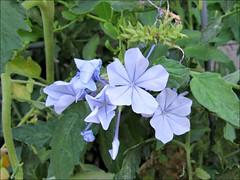 Plumbago among the tomato vines (Needleloca) Tags: 2017 garden flowers plumbago ribbet