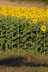 A l'ombre des tournesols (floLMA) Tags: lauragais fourquevaux