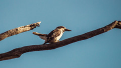 Laughing kookaburra (AWLancaster) Tags: kookaburra birding wetlands shepparton sony feathers wildlife animals