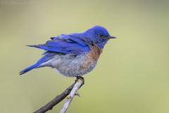 Western Bluebird (Ken Phenicie Jr.) Tags: westernbluebird male edlevin
