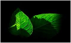 Chlorophyll (bert • bakker) Tags: zon sun bladeren leaves green groen
