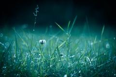 (ursulamller900) Tags: trioplan2950 grass gras klee clover raindrops regentropfen mygarden bokeh