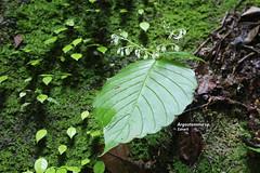 Argostemma sp. (Zaharil/ Texas) Tags: argostemmasp rubiaceae plant flora angiosperm herb flower flowerbud nature biodiversity forest boulderrock tropical notevaluatediucnredlist peninsularmalaysia westmalaysia southeastasia
