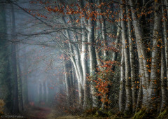 Forest atmosphere! (pat.thom974) Tags: forest fog trees wood leaves red