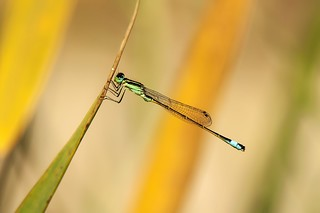 ♂ Ischnura elegans