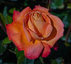 Troika rose (frankmh) Tags: plant rose troikarose krapperup krapperupcastlegarden skåne sweden outdoor macro flower garden