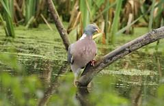 dippin' a toe in (westoncfoto) Tags: kiveton coal mining woodland pond