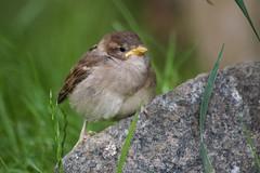 House sparrow chick (Kay Musk) Tags: housesparrow passerdomesticus bird wildlife wild nature gardenwildlife goldwildlife nikond3200 essex uk ngc