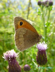 Small Heath Butterfly1 (g crawford) Tags: crawford ayrshire northinsectbutterflysmall heathcoenonympha pamphilusnorth