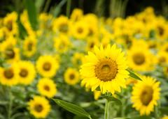 Field of Gold (ESHELMS) Tags: flower sunflower lexington sc pentax tamron