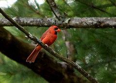 2017-07-15 Cardinal (tsegat01) Tags: cardinal red colorfulworldred cmwdred hbw