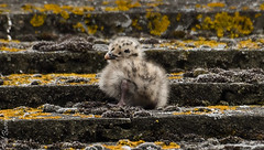 Seagull chick from a few weeks back. (philbarnes4) Tags: seagull chick roof feathers broadstairs thanet kent england