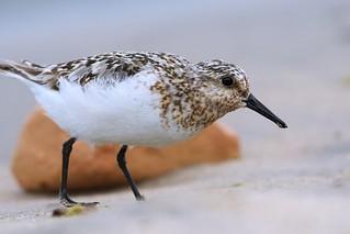 Sanderling Close-up