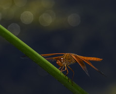 The Red Baron In A World Of Specular Highlights - Explored (Bill Gracey 24 Million Views) Tags: theredbaron dragonfly red color colorful nature naturalbeauty naturephotography nikonsb700 specularhighlights santeelakes oncameraflash