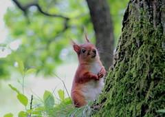 IMG_7475 (Laima B.) Tags: red squirrel animals widllife goteborg gothenburg sweden swedishnature sverige sverigesnatur canon canon600d forest outdoors
