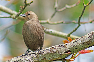 Brown-headed Cowbird 17-0514-5331