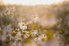 Flowers (Michael Wahlgren) Tags: ifttt 500px field flowers sunset color nature flower wallpaper summer bokeh beautiful bright closeup season grass white warm blur soft flora rural outdoors daisy growth hayfield desktop oxeye no person fair weather leucanthemum vulgare mwahlgren