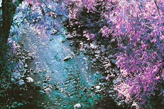 upīte maizīte (inmno) Tags: lomochrome purple lomography aerochrome minolta ishootfilm