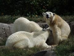 IJsberen Olinka, Sizzel & Todz. (Loekje19) Tags: ijsberen olinka