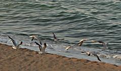 creando viento (isa.ju69) Tags: mar arena gaviotas viento alas vuelo
