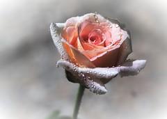 Gotas al sol (ameliapardo) Tags: rosas gotas rosa flores naturaleza airelibre macro fujixt1 andalucia sevilla