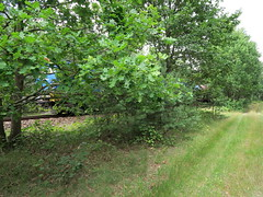 Natur... (ekeha) Tags: 170717 eisenbahnstrecke eiche rasen güterzug streckedresdenruhland weg