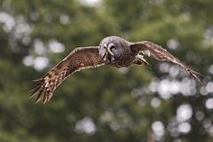 D97A0714b (yapaphotos) Tags: puy du fou chouette laponestrix nebulosa great grey owl lapone