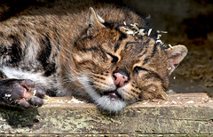Fishing cat closeup (asterix_93) Tags: portrait cat closeup nikon sleep face ears nose fishing sleeping gato feline gatto katze félin d810 prionailurus viverrinus