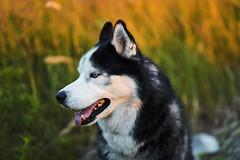 Husky Vinci (Kovalus) Tags: sony alpha a7m2 samyang af 50mm dog husky