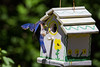 Bluebird Landing (Glen in Franklin County) Tags: bluebird bird birdhouse nature yard backyard blue insect bug feeding chick parents parent care family canon tamron tamaron 150600