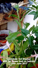 Calendula 'Art Shades' with 1st flower bud on balcony 20th June 2017 (D@viD_2.011) Tags: calendula art shades with 1st flower bud balcony 20th june 2017