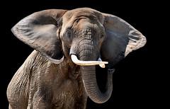 Elephant portrait - CLK (asterix_93) Tags: portrait beauty color nature background nikon animal face black head grey wildlife one elephant wild mammal pachyderm d810