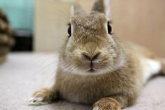 Ichigo san 794 (Ichigo Miyama) Tags: いちごさん。うさぎ ichigo san rabbitbunny netherlanddwarf brown ネザーランドドワーフ ペット いちご うさぎ rabbit