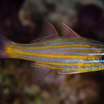 Yellowstriped Cardinalfish - Ostorhinchus cyanosoma thumbnail